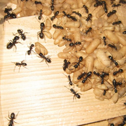 Ant Control Vancouver
