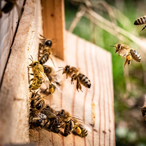 Bee Removal Vancouver