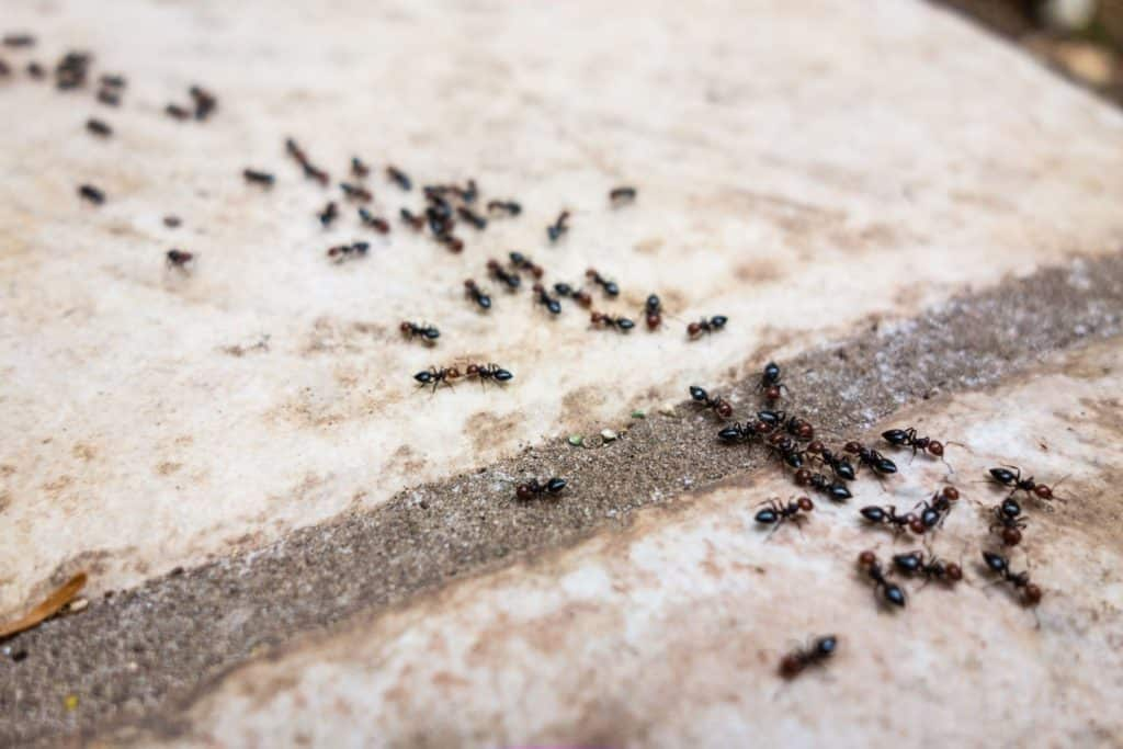 Why it is Vital to Control Your Ant Infestation Now