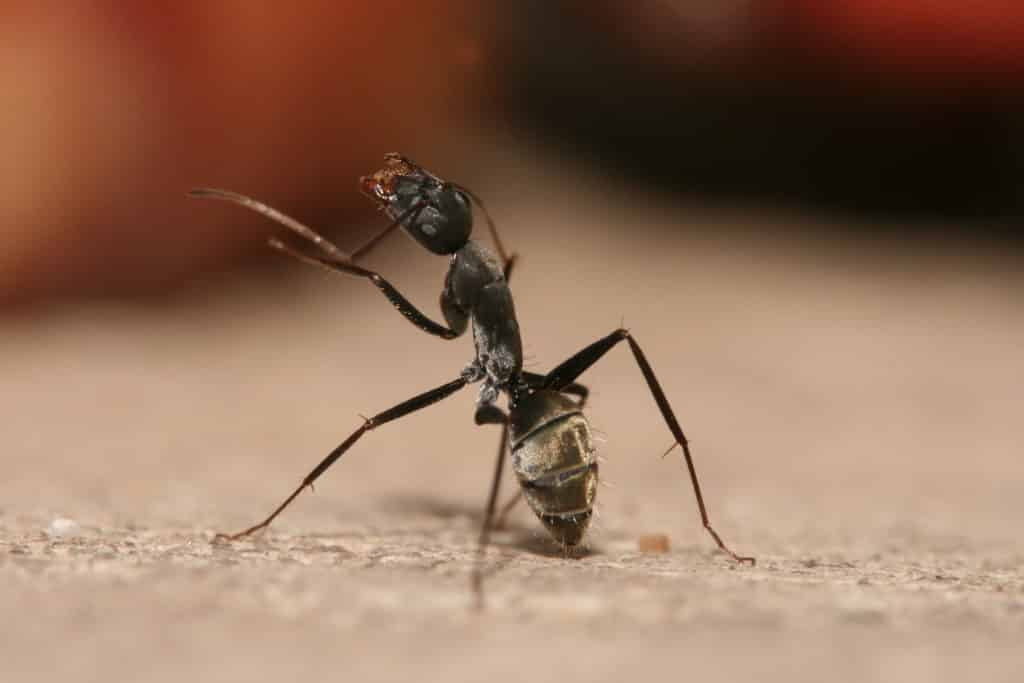 Dealing with Carpenter Ants