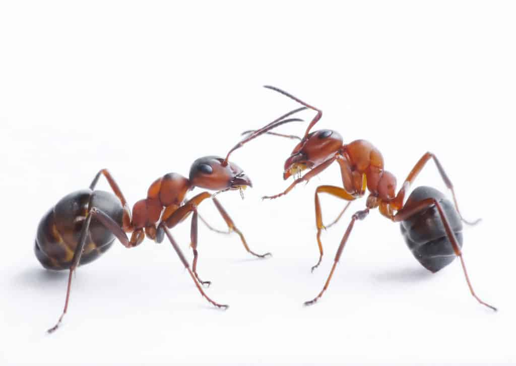 Types of Ant that Can Infest Your Home