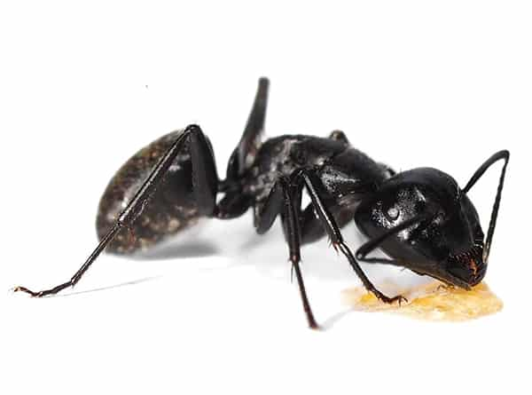Get rid of carpenter ants in Vancouver