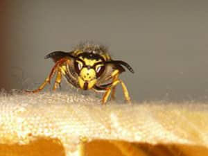 Hornets, a dangerous invasion on your property
