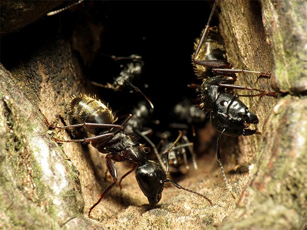 How to control Carpenter Ants in Vancouver