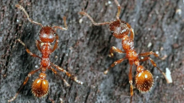 How to identify fire ants in Vancouver