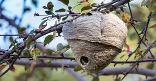 How to locate a hornets nest in Vancouver