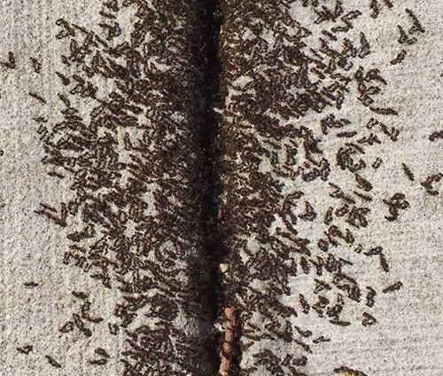 Pavement ant infestation Vancouver