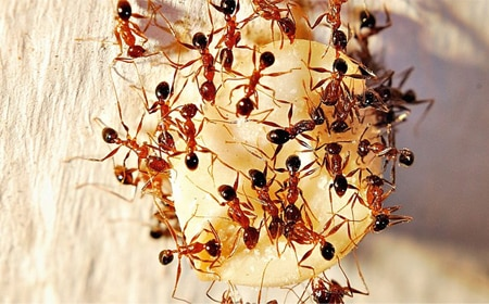 Pharaoh Ant Removal Vancouver