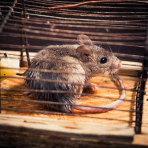 Hiring an expert to remove rodents from your Vancouver property