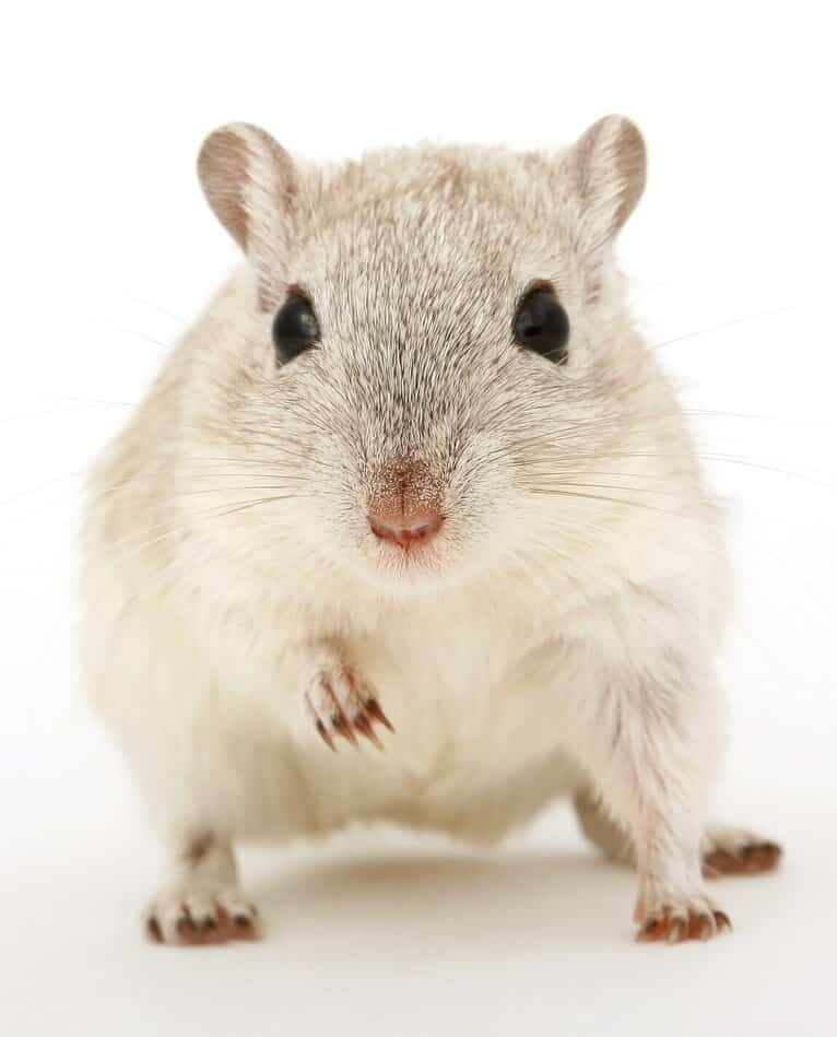 Types of mice in Vancouver