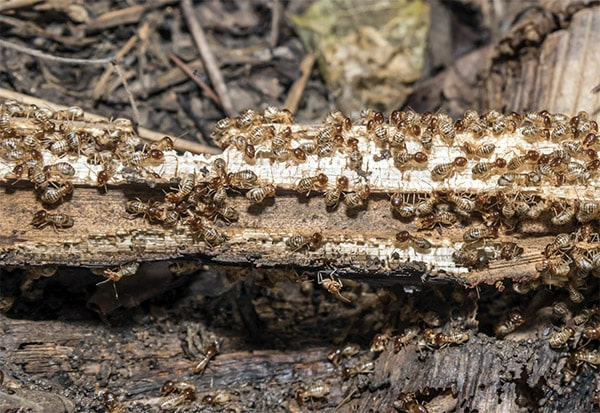 Vancouver termite control