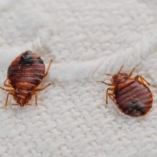 Bed Bugs Control Vancouver