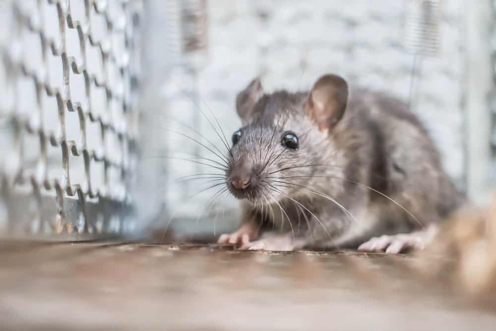 Are Rats Not Going Near Rat Traps in Your House in Vancouver? Here's what you're doing wrong