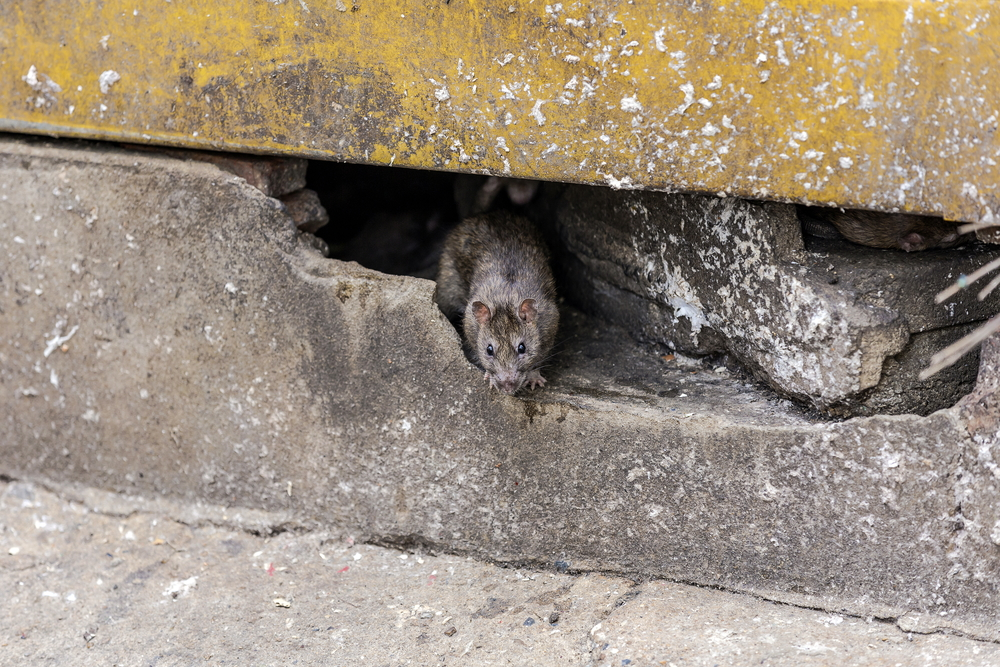Best Odours That Control Rats in Vancouver