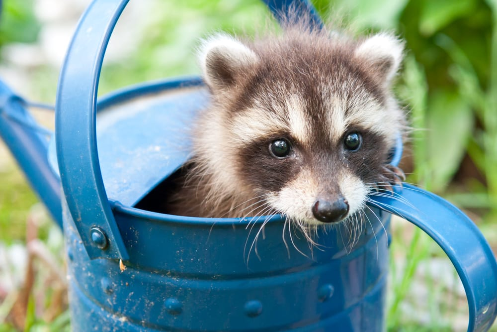 Raccoon Control Tips that Work in Vancouver