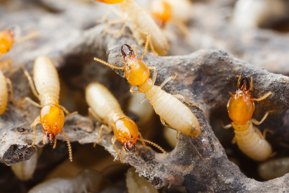 How Quickly can termites damage your home?